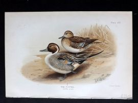 Baker & Lodge Indian Ducks 1908 Antique Bird Print. The Pintail
